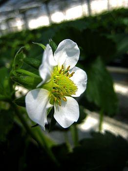 イチゴの花.jpg